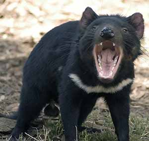 Photo: Tasmanian Devil--Wikimedia Commons--Wayne McLean