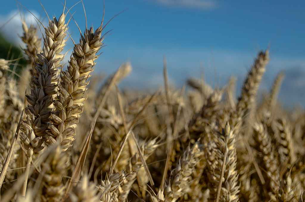 Can Scientists Find Acceptance for GMO Gluten-Free Wheat