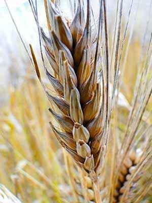 Is Gluten-free Wheat the Holy Grail of Grain Research?